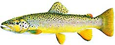 JOSEPH R. TOMELLERI TROUT PRINTS: BROWN TROUT
