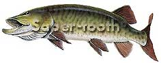 MAGNETIC  FRESHWATER FISH STICKERS: MUSKY (LARGE R)