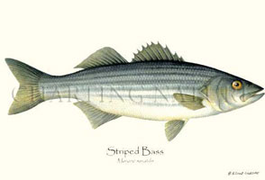 ATLANTIC FISH ART PRINTS: STRIPED BASS