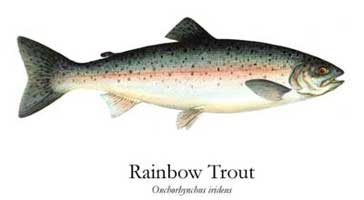 FRESHWATER GAMEFISH ART PRINTS: RAINBOW TROUT