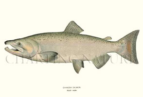 ANTIQUE FISH PRINTS: CHINOOK - ADULT MALE