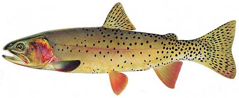 JOSEPH R. TOMELLERI TROUT PRINTS: YELLOWSTONE CUTTHROAT TROUT