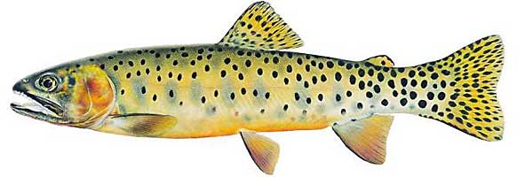 JOSEPH R. TOMELLERI TROUT PRINTS: COLORADO RIVER CUTTHROAT TROUT