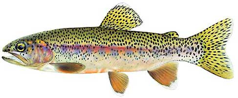 JOSEPH R. TOMELLERI TROUT PRINTS: KERN RIVER RAINBOW TROUT