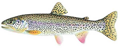 JOSEPH R. TOMELLERI TROUT PRINTS: COASTAL CUTTHROAT TROUT