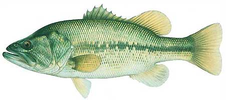 JOSEPH R. TOMELLERI BASS PRINTS: LARGEMOUTH BASS