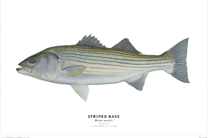 FLICK FORD'S STRIPED BASS