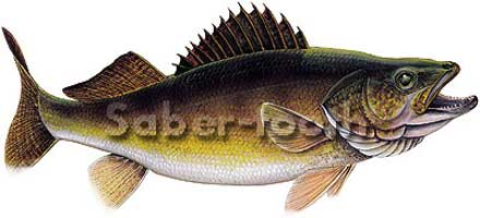 MAGNETIC  FRESHWATER FISH STICKERS: WALLEYE (LARGE R)