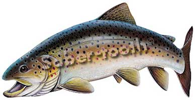 VINYL FRESHWATER FISH STICKERS: BROWN TROUT (LARGE  L)