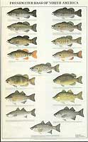 GAMEFISH PRINT PRODUCTS: FRESHWATER BASS OF NORTH AMERICA POSTER