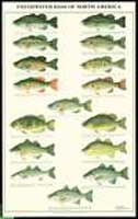 FRESHWATER BASS OF NORTH AMERICA POSTER--LAMINATED