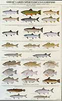 GAMEFISH PRINT PRODUCTS: GREAT LAKES SPORTSMEN'S GAMEFISH POSTER