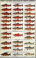 GAMEFISH PRINT PRODUCTS: TROUT, SALMON & CHAR OF NORTH AMERICA #1 (MALE) POSTER