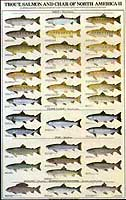 GAMEFISH PRINT PRODUCTS: TROUT, SALMON & CHAR OF NORTH AMERICA #2 (FEMALE) POSTER