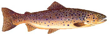 Iridescent Decal - Brown Trout - FD-TBR