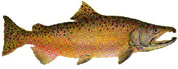 Iridescent Decal - Chinook Salmon (Mating) - FD-SCH