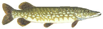 Iridescent Decal - Northern Pike - FD-PN