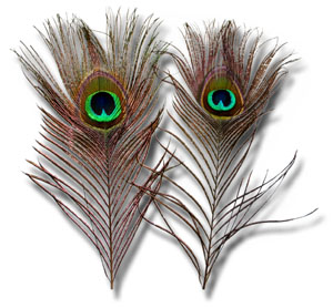 "Peacock Eye Feathers - 2 pieces, 10"" to 15"""