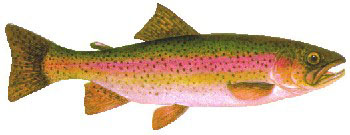 Iridescent Decal - Rainbow Trout - FD-TR
