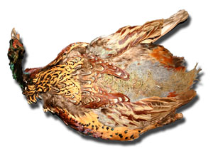 Ringneck Pheasant Skin - No Tail - Grade: Select #1