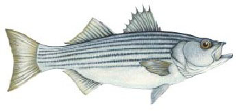 Iridescent Decal - Striped Bass - FD-BST