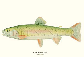 ANTIQUE FISH PRINTS: ALASKA RAINBOW TROUT