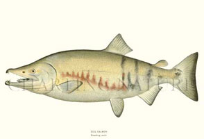 ANTIQUE FISH PRINTS: DOG SALMON BREEDING MALE